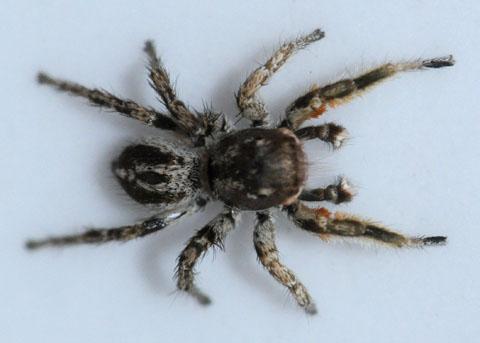 Small jumping spider - Habronattus tarsalis - male