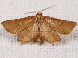 Orange Hairnet - Hexeris enhydris