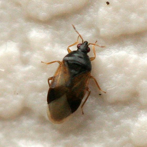 Minute Pirate Bug - Orius vicinus