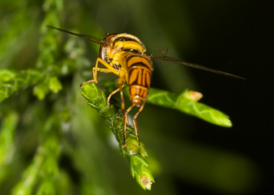 Bee? - Allograpta obliqua