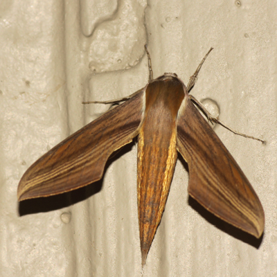 Tersa Sphinx Moth - Hodges #7890 - Xylophanes tersa - female