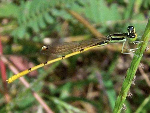 Yellow Damsel From Alabama - Ischnura hastata - male