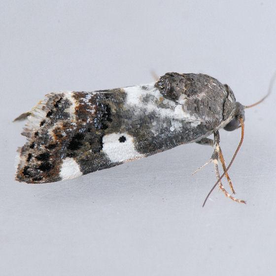 9140 Acontia flavipennis ?? - Tarache abdominalis