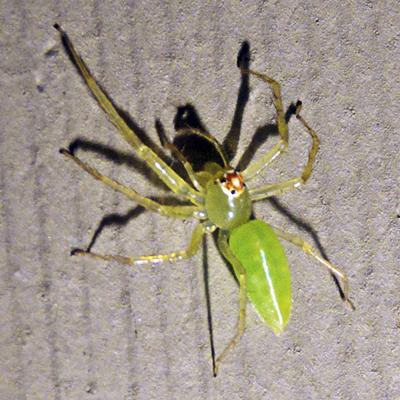 Magnolia Green Jumping Spider - Lyssomanes viridis - female