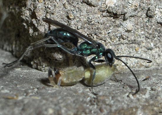 Yellow Sac attack by unknown Spider Wasp - Auplopus