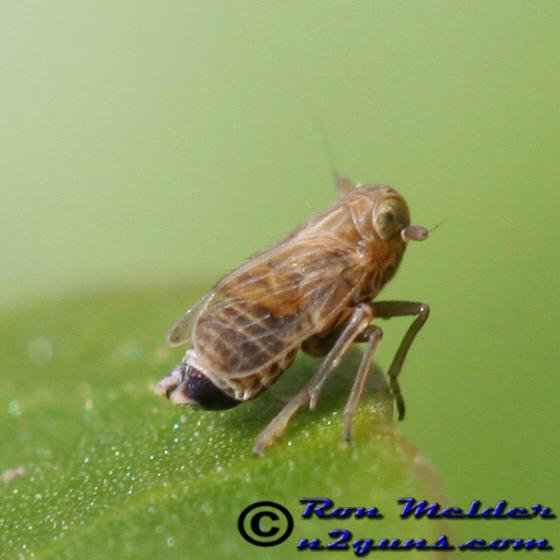 Planthopper - Metadelphax propinqua - male