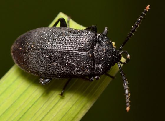 Black Beetle Yellow Tip Antenna - Penthe pimelia