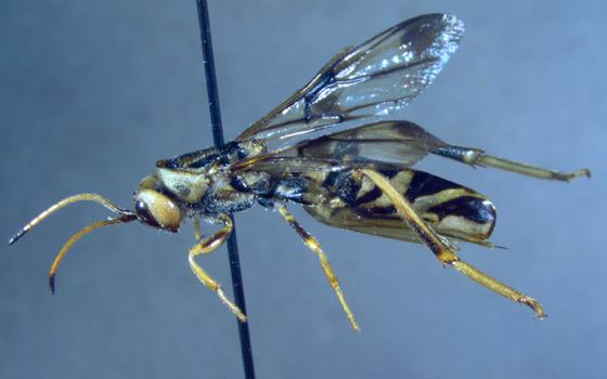 Ibaliidae - Ibalia anceps