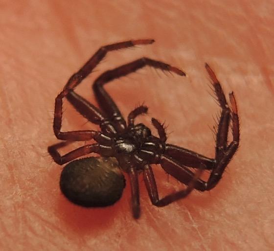 Bassaniana Spider 2 - Bassaniana - female