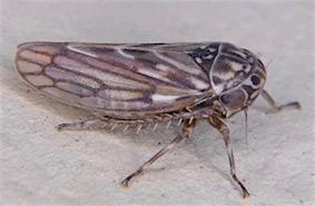 Ceratagallia leafhopper - Ceratagallia