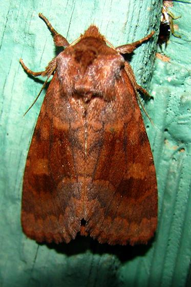 Noctuidae? - Nephelodes minians
