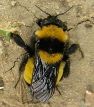 Which Bumblebee - Bombus sonorus