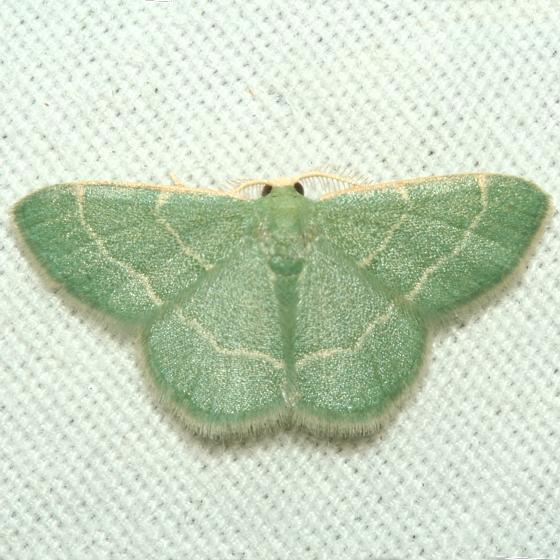 Moth - Chlorochlamys phyllinaria - male