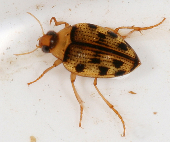 Crawling Water Beetle? - Haliplus