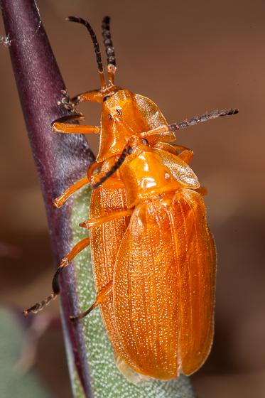 Lycus simulans - male - female