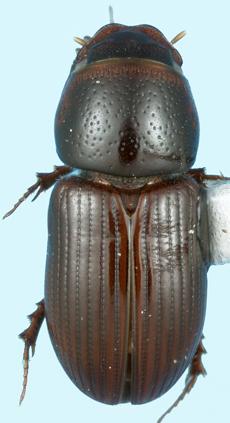 Nialaphodius nigrita (Fabricius) - Aphodius nigrita