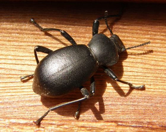 California Broad-necked Darkling Beetle - Coelocnemis californica