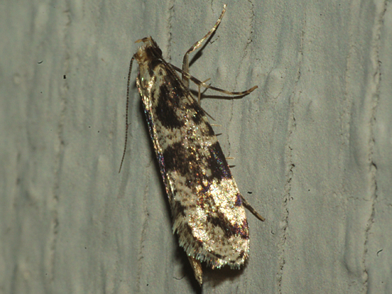 Clothes Moth - Morophagoides burkerella