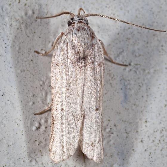 Another Florida micro moth - Menestomorpha kimballi