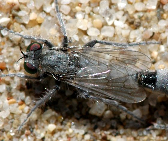 Dune flies... - Lasiopogon littoris