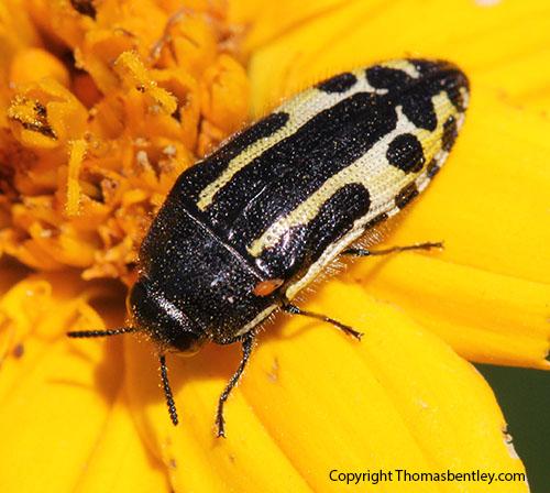 Buprestid - Acmaeodera scalaris