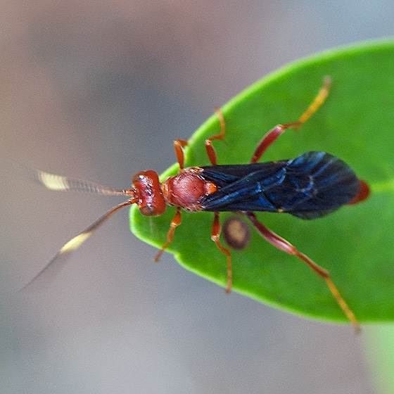 ID for a red wasp with blue wings - Trogomorpha trogiformis - female