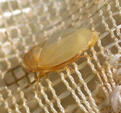 Leafhopper - Agallia