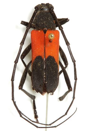 Purpuricenus paraxillaris MacRae  - Purpuricenus paraxillaris - male