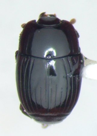 Eblisia carolina - Eurylister carolinus
