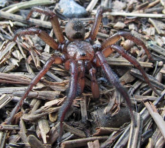 Unknown Spider - Antrodiaetus montanus