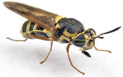 Hoplitimyia ? - Hoplitimyia constans - female