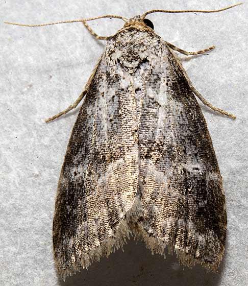 moth - Hyperstrotia pervertens - female
