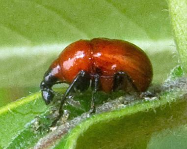 Attelabus nigripes - Synolabus nigripes