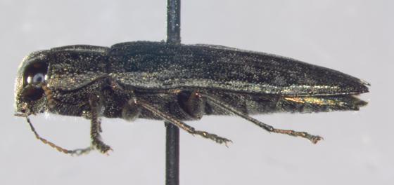 Buprestidae, lateral - Spectralia gracilipes