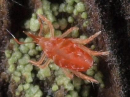 Mite - Mite; Bdellidae
