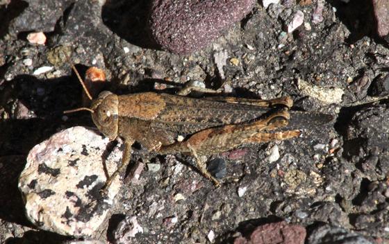 Acrididae - Aidemona azteca - female
