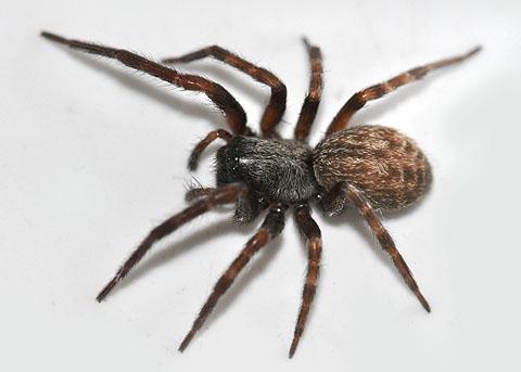 Spider on garden gate - Badumna longinqua - female