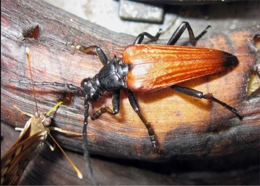 Gigas Longhorn Beetle - Stenelytrana gigas
