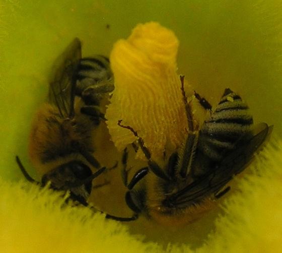 Squash Bee? - Peponapis pruinosa - male