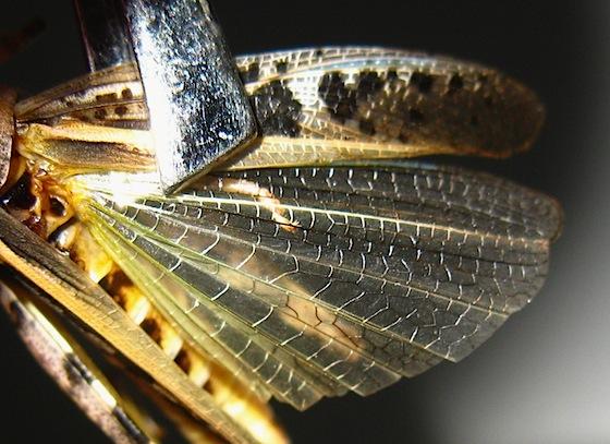 Grasshopper - Camnula pellucida - female