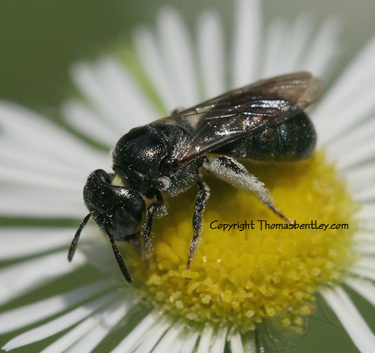 Halictid Bee - Ceratina - female