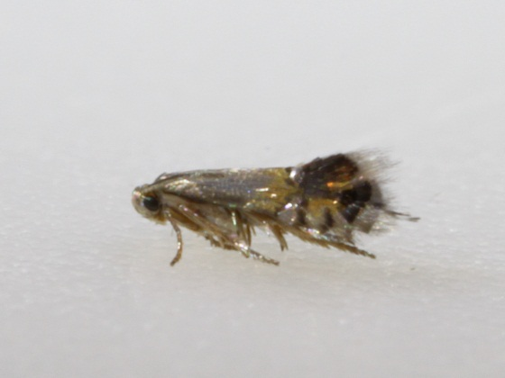 the smallest moth I've ever seen - Coptodisca