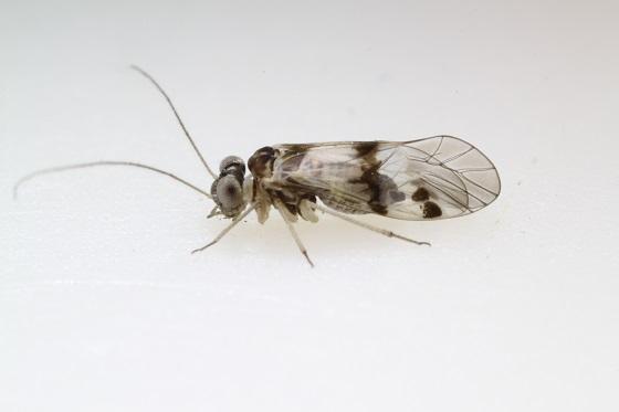 Indiopsocus lacteus - male