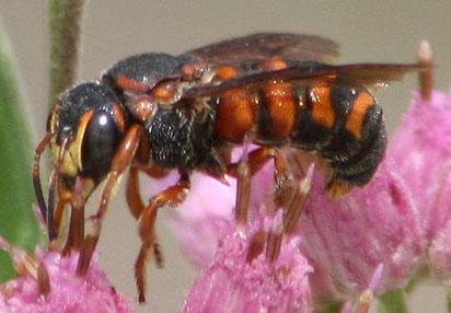 Orange Bee - Dianthidium floridiense