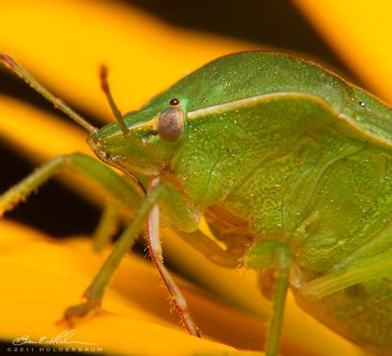 Stink Bug - Nezara viridula - female