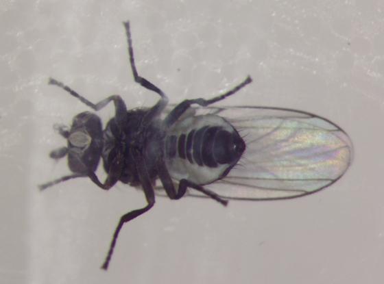 Agromyzidae, adult, ventral (Columbine) - Phytomyza aquilegivora