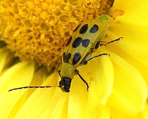 Spotted Cucumber Beetle B - Diabrotica undecimpunctata