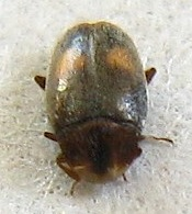Very small beetle - Clypastraea