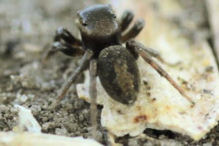 Jumping Spider - Hasarius adansoni - female