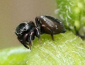 Small Black Spider